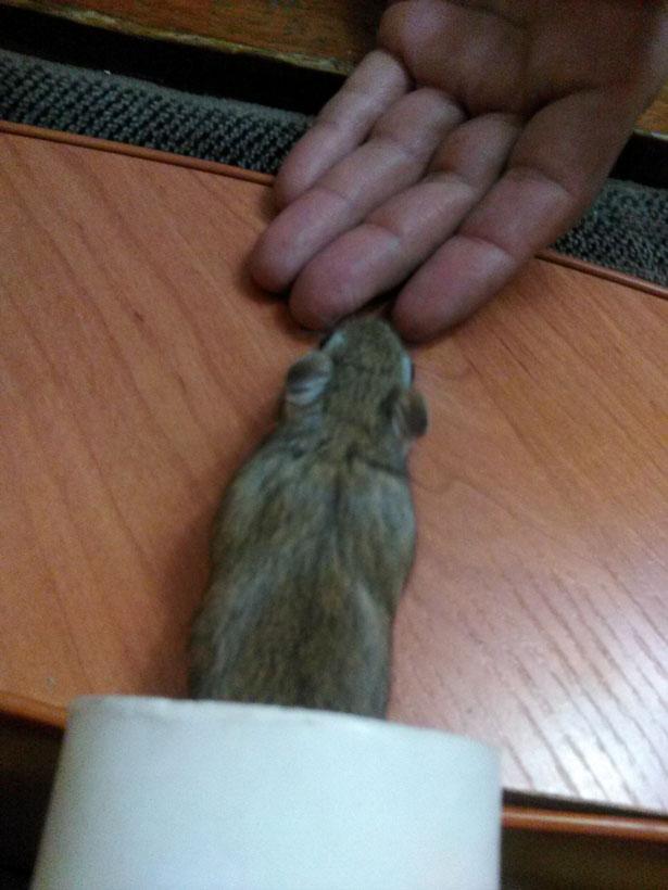 Мышка вылазит из трубы