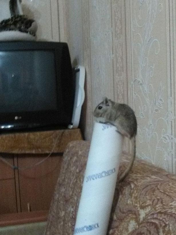 Мышка сидит на трубе