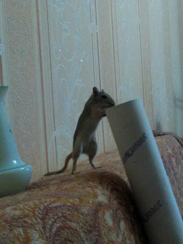 Мышка стоит