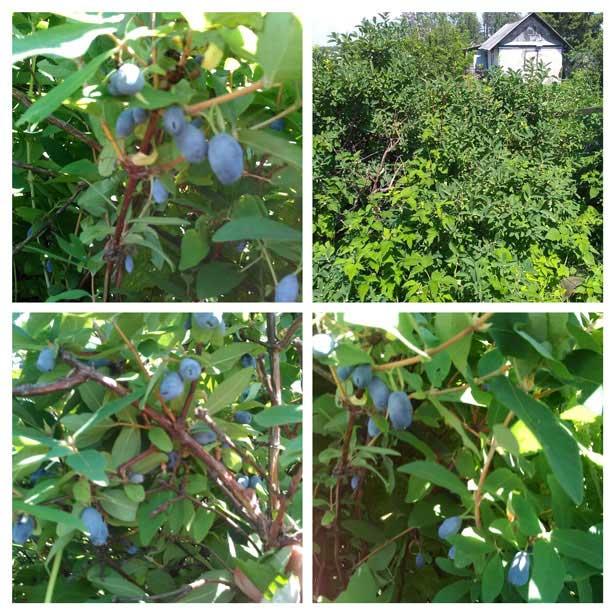 Жимолость на моем огороде