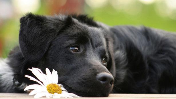 Собака с ромашкой